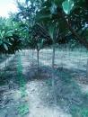河南枇杷树